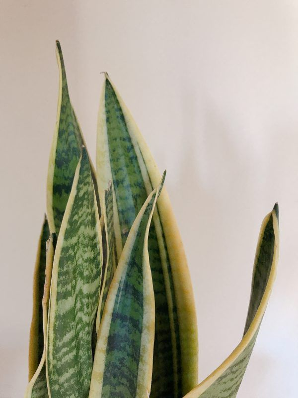 Sansevieria Slow and Home